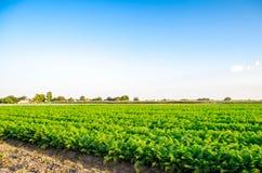 Aanplanting van de wortel op het gebied Mooi landschap Landbouw farming plantaardige rij Zonnige dag milieuvriendelijke agricultu royalty-vrije stock fotografie