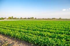 Aanplanting van de wortel op het gebied Mooi landschap Landbouw farming plantaardige rij Zonnige dag milieuvriendelijke agricultu stock afbeelding
