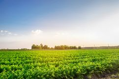 Aanplanting van de wortel op het gebied Mooi landschap Landbouw farming plantaardige rij Zonnige dag milieuvriendelijke agricultu royalty-vrije stock afbeeldingen