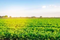 Aanplanting van de wortel op het gebied Mooi landschap Landbouw farming plantaardige rij Zonnige dag milieuvriendelijke agricultu royalty-vrije stock afbeelding