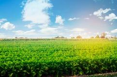 Aanplanting van de wortel op het gebied Mooi landschap Landbouw farming plantaardige rij Zonnige dag milieuvriendelijke agricultu stock fotografie