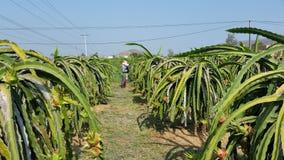 Aanplanting van dragonfruits Royalty-vrije Stock Fotografie