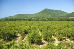 Aanplanting van fruitbomen Royalty-vrije Stock Foto's