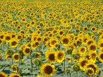 Aanplanting van gele zonnebloemen Stock Afbeelding