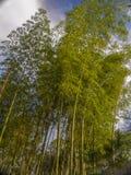 Aanplanting van guadua die door de zonsondergang wordt verlicht stock fotografie
