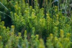 Aanplanting van jonge altijdgroene boom Royalty-vrije Stock Afbeeldingen