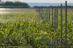 Aanplanting van jonge wijngaard Stock Afbeelding