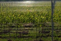 Aanplanting van jonge wijngaard Royalty-vrije Stock Fotografie