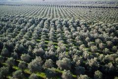 Aanplanting van olijfbomen royalty-vrije stock afbeelding