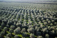 Aanplanting van olijfbomen stock fotografie