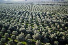 Aanplanting van olijfbomen stock afbeelding