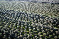 Aanplanting van olijfbomen stock foto's