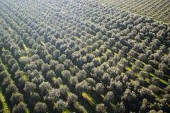 Aanplanting van olijfbomen royalty-vrije stock afbeeldingen