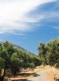 Aanplanting van olijfbomen onder de blauwe hemel stock afbeelding