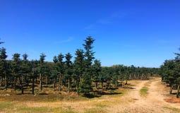 Aanplanting van uniek type van altijdgroene bomen in Polen Stock Afbeelding