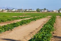 Aanplanting van watermeloen Royalty-vrije Stock Fotografie