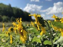 Aanplanting van zonnebloemen tegen de blauwe hemel royalty-vrije stock fotografie