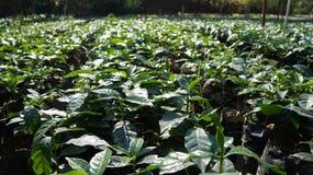 Aanplanting voor het opheffen van organische koffieinstallaties in Jarabacoa Royalty-vrije Stock Foto's