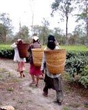 Aanplantingen 11 van de thee Royalty-vrije Stock Afbeeldingen