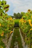 Aanplantingen en zonnebloemtuinen van sunlowers royalty-vrije stock foto's