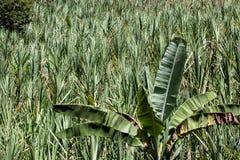 Aanplantingen van suikerriet Royalty-vrije Stock Foto's