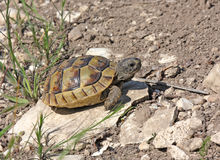 Aansporing-Thighed Schildpad stock foto
