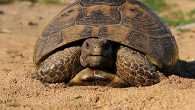Aansporing-Thighed schildpad stock footage