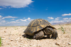 Aansporing-Thighed schildpad (Testudo-graeca) Stock Afbeeldingen