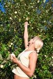 Aantrekkelijke blonde die de appelen in de tuin plukt Royalty-vrije Stock Afbeeldingen