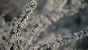 Aantrekkelijke wilde kersenbloemen op de tak stock video