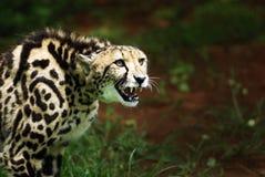 Aanvallende Koning Cheetah Royalty-vrije Stock Afbeelding