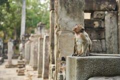 Aap in angkor wat Kambodja Royalty-vrije Stock Foto