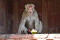 Aap bezig met het eten Royalty-vrije Stock Foto's