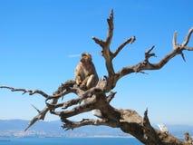 Aap bij de boom Stock Afbeeldingen