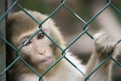 Aap bij de dierentuin Stock Fotografie