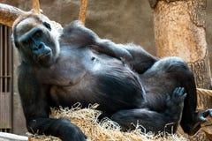 Aap bij de dierentuin stock afbeelding