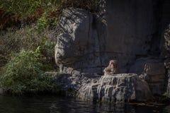 Aap bij dierentuin Royalty-vrije Stock Afbeeldingen