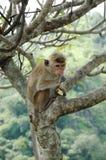 Aap - Bonnet Macaque (radiata Macaca) stock foto's