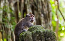 Aap in bospark in Ubud - Bali Indonesië Stock Foto's