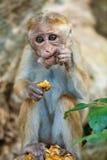 Aap die ananas eten Stock Afbeelding