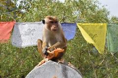 Aap die een koningskokosnoot eten Royalty-vrije Stock Afbeeldingen