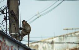 Aap die elektriciteitspool beklimmen Stock Foto