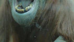Aap die en zijn tanden schreeuwen tonen stock videobeelden