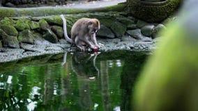 Aap die fruit op het water eten stock videobeelden