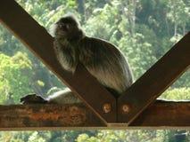 Aap die in het Nationale Park van Bako, Borneo, Maleisië rusten royalty-vrije stock afbeelding