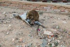 aap die naar vlo zoeken stock foto's