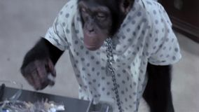 Aap die openen van ketting in het ziekenhuis stock video
