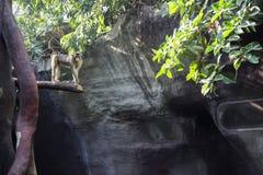 Aap in dierentuin die zich op een boom bevinden en zijn tong tonen aan de camera Grappige aap stock afbeeldingen
