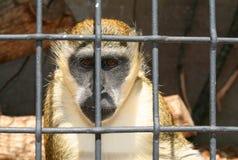 Aap in dierentuin of laboratorium Stock Afbeeldingen