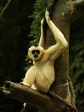 Aap in een boom Stock Fotografie